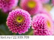 Купить «close up of beautiful pink chrysanthemum flowers», фото № 22939709, снято 27 марта 2016 г. (c) Syda Productions / Фотобанк Лори