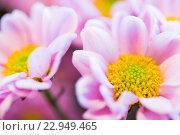 Купить «close up of beautiful pink chrysanthemum flowers», фото № 22949465, снято 27 марта 2016 г. (c) Syda Productions / Фотобанк Лори