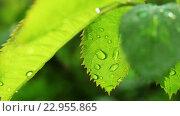 Купить «Мокрые зеленые листья», видеоролик № 22955865, снято 10 мая 2016 г. (c) ActionStore / Фотобанк Лори