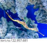 Рыба необычной формы и расцветки, обитатель морских и океанских глубин на мелководье кораллового рифа. Стоковое фото, фотограф Игорь Травкин / Фотобанк Лори
