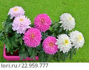 Купить «Хризантемы», фото № 22959777, снято 23 апреля 2016 г. (c) Валерия Попова / Фотобанк Лори