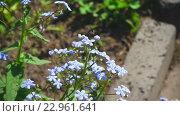 Купить «Bee flying near blue myosotis flower», видеоролик № 22961641, снято 22 мая 2016 г. (c) Игорь Жоров / Фотобанк Лори