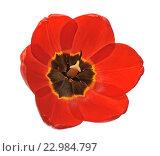 Купить «Красный тюльпан на белом фоне», фото № 22984797, снято 12 мая 2009 г. (c) Литова Наталья / Фотобанк Лори