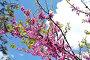 Цветущая ветка кустарника багряник европейский (Cercis siliquastrum), или Иудино дерево, на фоне синего весеннего солнечного неба и белых облаков, фото № 22984897, снято 2 мая 2016 г. (c) Елена Александрова / Фотобанк Лори