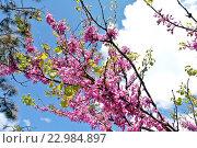 Купить «Цветущая ветка кустарника багряник европейский (Cercis siliquastrum), или Иудино дерево, на фоне синего весеннего солнечного неба и белых облаков», фото № 22984897, снято 2 мая 2016 г. (c) Елена Александрова / Фотобанк Лори