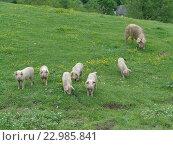 Купить «Забавные поросята и свинья на зеленом лугу среди полевых цветов», фото № 22985841, снято 6 мая 2016 г. (c) DiS / Фотобанк Лори