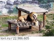 Зевающий лев (2015 год). Редакционное фото, фотограф Игорь Аникин / Фотобанк Лори