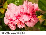 Розовый гибискус. Стоковое фото, фотограф Tamara Sushko / Фотобанк Лори