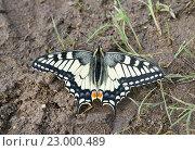 Бабочка махаон сидит на земле. Стоковое фото, фотограф Dmitry29 / Фотобанк Лори