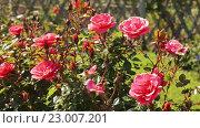 Купить «blossoming roses plant», видеоролик № 23007201, снято 13 мая 2016 г. (c) Яков Филимонов / Фотобанк Лори