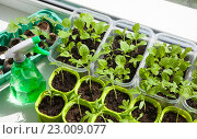 Купить «Рассада овощей в пластиковых контейнерах на окне», фото № 23009077, снято 29 января 2020 г. (c) Галина Лукьяненко / Фотобанк Лори