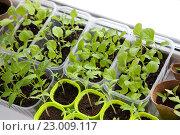 Купить «Рассада овощей на подоконнике, вид сверху», фото № 23009117, снято 3 апреля 2016 г. (c) Галина Лукьяненко / Фотобанк Лори