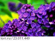 Купить «Цветение сирени, цветочный фон», фото № 23011449, снято 23 мая 2016 г. (c) Зезелина Марина / Фотобанк Лори