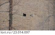 Купить «Два диких Яка пасутся у подножия горы. Саяны. Сибирь. Российская Федерация.», видеоролик № 23014097, снято 17 мая 2016 г. (c) ActionStore / Фотобанк Лори