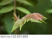 Молодые листья грецкого ореха на ветке. Стоковое фото, фотограф Наталья Саратова / Фотобанк Лори