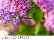 Цветущая сирень крупным планом. Стоковое фото, фотограф Тамара Наянова / Фотобанк Лори
