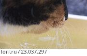 Купить «Кошка пьет воду», видеоролик № 23037297, снято 10 мая 2016 г. (c) Алексей Собченко / Фотобанк Лори