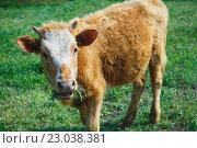 Купить «Коричневая корова жует траву», фото № 23038381, снято 27 апреля 2016 г. (c) Константин Колосов / Фотобанк Лори