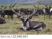 Северный олень. Стоковое фото, фотограф Евгений Тищук / Фотобанк Лори