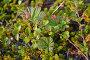 Тундровая растительность на Кольском полуострове, фото № 23040725, снято 19 июля 2015 г. (c) Ирина Борсученко / Фотобанк Лори