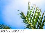Пальмовая ветвь. Стоковое фото, фотограф Евгения Теленная / Фотобанк Лори