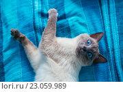 Купить «Кот с голубыми глазами», фото № 23059989, снято 22 мая 2016 г. (c) Наталья Окорокова / Фотобанк Лори