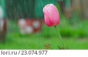 Купить «Pink tulip flower under rain», видеоролик № 23074977, снято 29 мая 2016 г. (c) Игорь Жоров / Фотобанк Лори