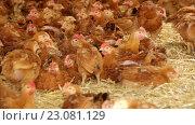Купить «chickens on poultry farm», видеоролик № 23081129, снято 4 июня 2016 г. (c) Яков Филимонов / Фотобанк Лори