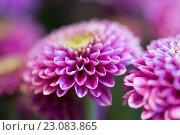 Купить «close up of beautiful pink chrysanthemum flowers», фото № 23083865, снято 27 марта 2016 г. (c) Syda Productions / Фотобанк Лори