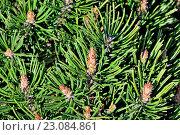 Купить «Сосна горная (лат. Pinus mugo). Хвоя и почки крупным планом», фото № 23084861, снято 14 апреля 2016 г. (c) Сергей Трофименко / Фотобанк Лори