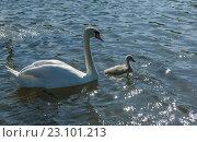 Семья лебедей-шипунов на озере. Стоковое фото, фотограф Александр Рыбин / Фотобанк Лори