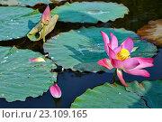 Листья и цветки лотоса. Стоковое фото, фотограф Александр Смаков / Фотобанк Лори
