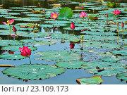 Лотосы. Стоковое фото, фотограф Александр Смаков / Фотобанк Лори