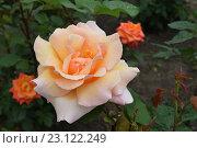 Кремовая роза. Стоковое фото, фотограф Юрий Елисеев / Фотобанк Лори