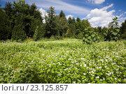 Купить «Helianthus annuus - Sunflowers in field of white flowering Fagopyrum esculentum - Buckwheat in private backyard garden in summer, Jardin du Grand Portage...», фото № 23125857, снято 19 августа 2012 г. (c) age Fotostock / Фотобанк Лори