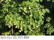Купить «Ветка цветущей липы», фото № 23151889, снято 3 июля 2015 г. (c) Зобков Георгий / Фотобанк Лори