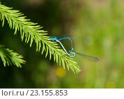 Стрекозы на зеленой ветке. Стоковое фото, фотограф Виктор Шушурин / Фотобанк Лори