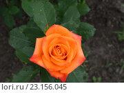 Оранжевая роза. Стоковое фото, фотограф Юрий Елисеев / Фотобанк Лори