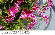 Купить «Необычные цветы герани», фото № 23163425, снято 7 апреля 2020 г. (c) Tamara Sushko / Фотобанк Лори
