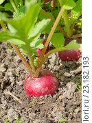 Купить «Красный редис на грядке», фото № 23182193, снято 29 мая 2016 г. (c) Елена Коромыслова / Фотобанк Лори