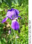 Купить «Фиолетовый бородатый ирис (лат. Iris barbatus)», фото № 23182197, снято 29 мая 2016 г. (c) Елена Коромыслова / Фотобанк Лори