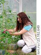 Купить «Девушка - садовод подвязывает помидоры на грядке в теплице на дачном участке», фото № 23182649, снято 19 июня 2016 г. (c) Максим Мицун / Фотобанк Лори