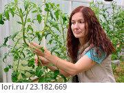Купить «Девушка - садовод держит куст цветущих томатов в теплице на дачном участке», фото № 23182669, снято 19 июня 2016 г. (c) Максим Мицун / Фотобанк Лори