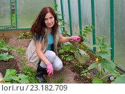 Купить «Девушка - садовод рыхлит лопаткой почву в теплице с огурцами на дачном участке», фото № 23182709, снято 19 июня 2016 г. (c) Максим Мицун / Фотобанк Лори
