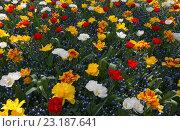 Тюльпаны и гиацинты. Стоковое фото, фотограф Stjarna / Фотобанк Лори