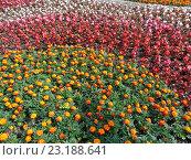 Купить «Яркая летняя клумба, бархатцы и разноцветные цветы бегонии», фото № 23188641, снято 26 мая 2016 г. (c) DiS / Фотобанк Лори