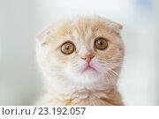 Купить «close up of scottish fold kitten», фото № 23192057, снято 19 июля 2015 г. (c) Syda Productions / Фотобанк Лори
