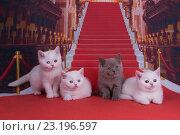 Купить «Британские котята на красной дорожке», фото № 23196597, снято 5 мая 2016 г. (c) Светлана Валуйская / Фотобанк Лори