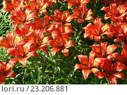 Красные лилии. Стоковое фото, фотограф Денис Рубцов / Фотобанк Лори