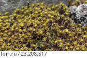 Купить «Синтрихия сельская полевая растет на камнях», фото № 23208517, снято 7 июня 2016 г. (c) Наталья Гармашева / Фотобанк Лори
